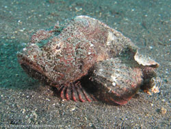 BD-080331-Lembeh-3312543-Scorpaenopsis-macrochir.-Ogilby.-1910-[Flasher-scorpionfish].jpg